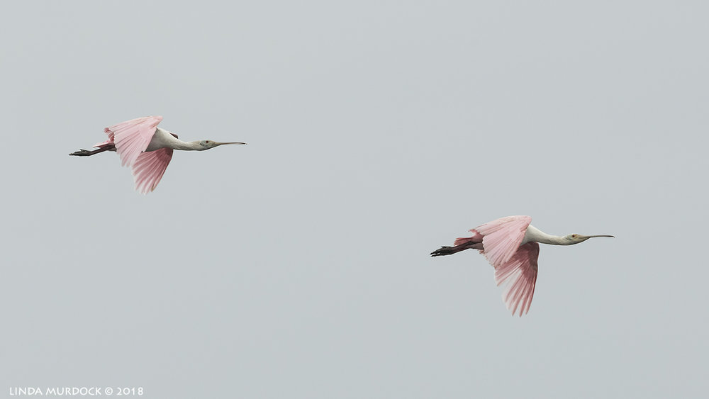 Synchonized Spoonbills  Nikon D850 with NIKKOR 500mm f/4E VR with Nikon 1.4x TC ~ 1/1000 sec f/8.0 ISO 1600; hand-held