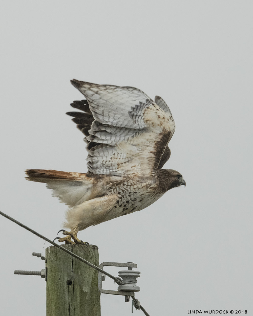 Red-tailed Hawk take off  Nikon D850 with NIKKOR 500mm f/4E VR with Nikon 1.4x TC ~ 1/2000 sec f/6.3 ISO 1250; hand-held