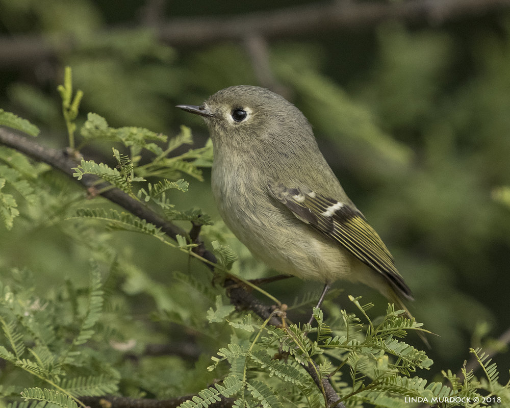 Ruby-crowned Kinglet with no ruby crown Nikon D850 with NIKKOR 300mm f/4E PF ED VR with 1.4x TC~ 1/2000 sec f/6.3 ISO 1000; hand-held