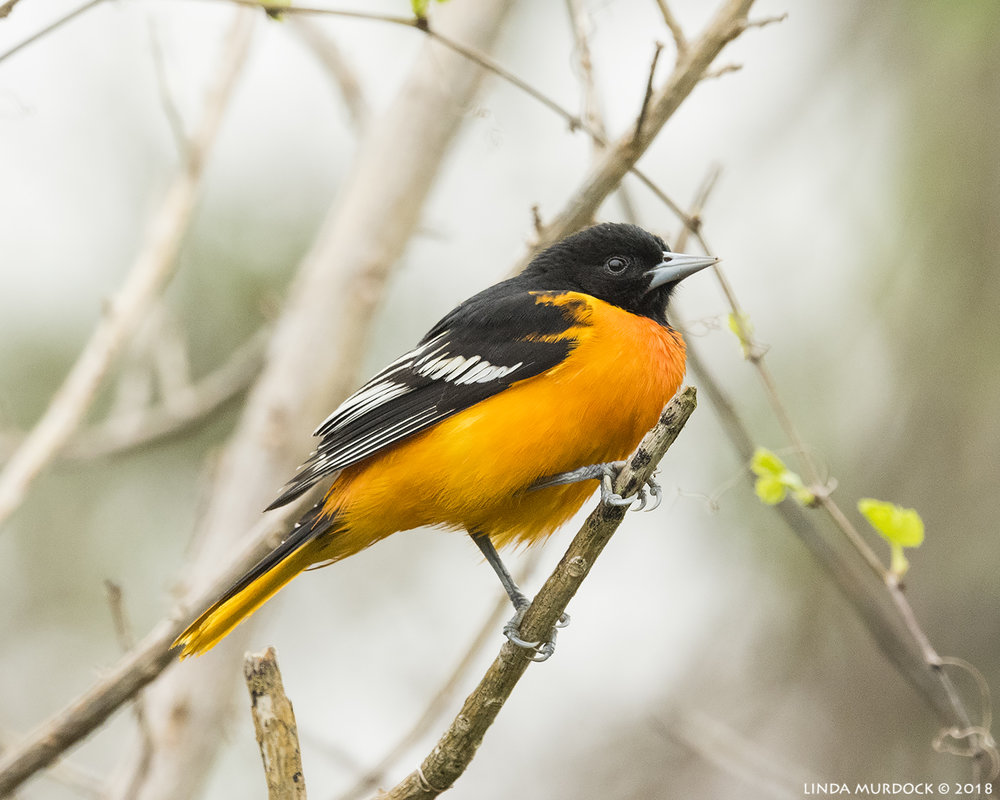 Baltimore Oriole on a messy background