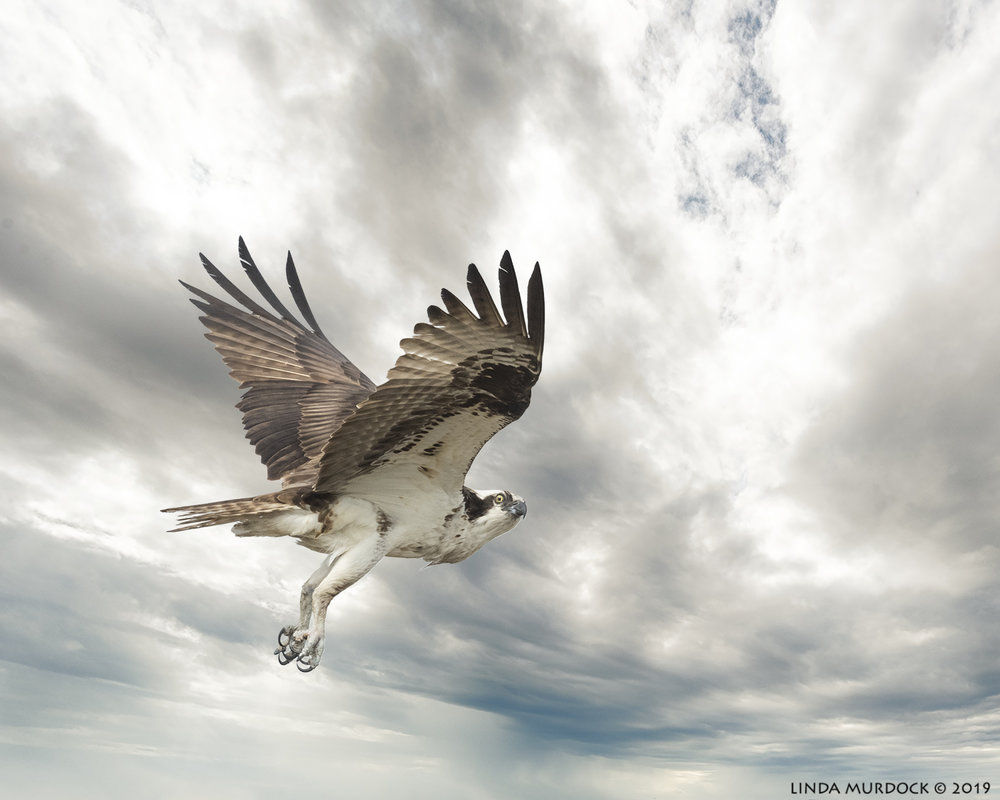 Osprey on new cloudy background.jpg