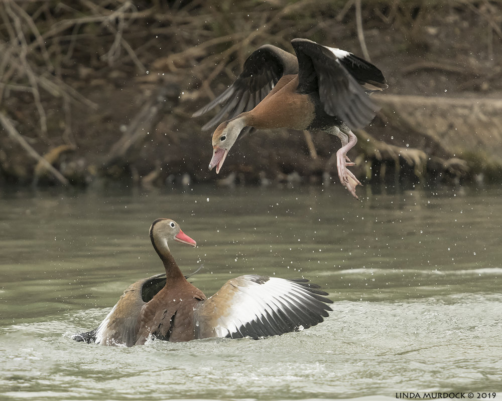 Black-bellied Whistling Ducks having a bit of a spat Nikon D850 with NIKKOR 300mm f/4E PF ED VR with 1.4x TC~ 1/2000 sec f/5.6 ISO 1600; hand-held