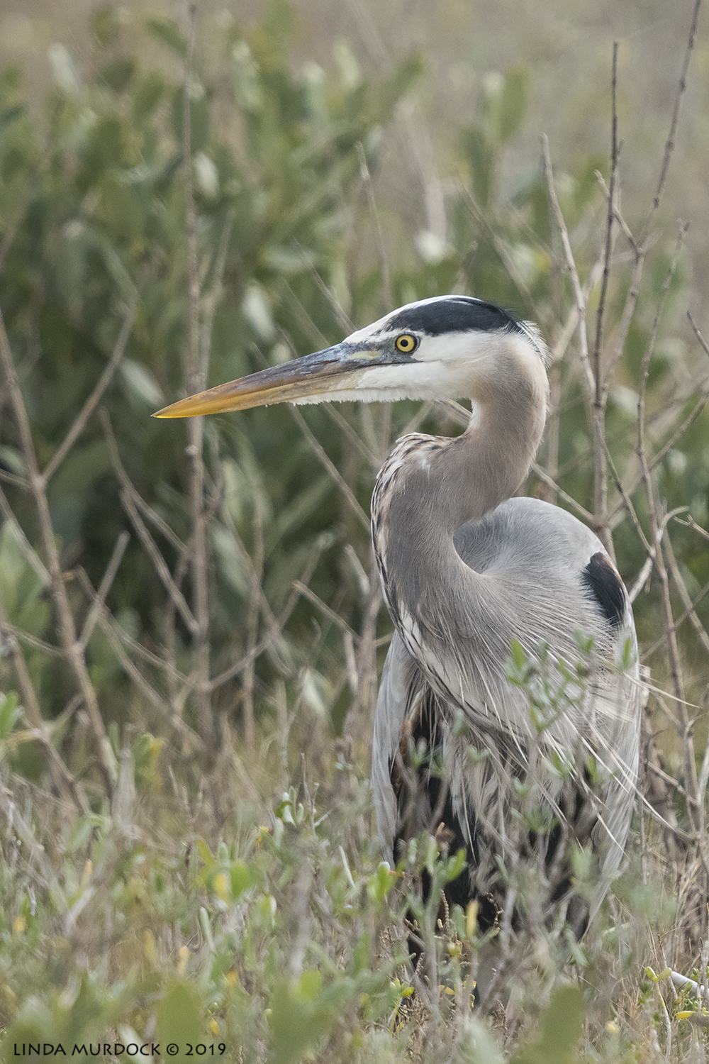 Great Blue Heron in the brush.  Nikon D850 with NIKKOR 300mm f/4E PF ED VR with 1.4x TC~ 1/2000 sec f/6.3 ISO 1000; hand-held