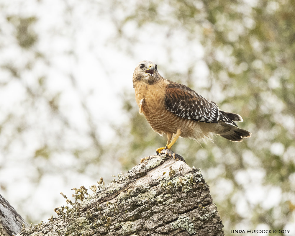 Calling Red-shouldered Hawk. Note the fluffed up chest feather…  Nikon D850 with Nikkor 500 f/5.6 PF VR ~ 1/2000 sec f/5.6 ISO 1250; hand-held