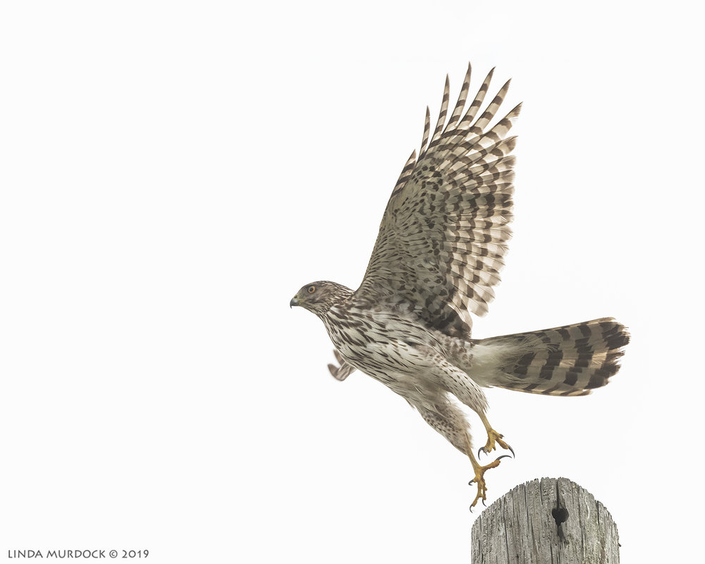 Young Cooper's Hawk take off  Nikon D850 with Nikkor 500 f/5.6 PF VR ~ 1/2000 sec f/6.3 ISO 1600; hand-held