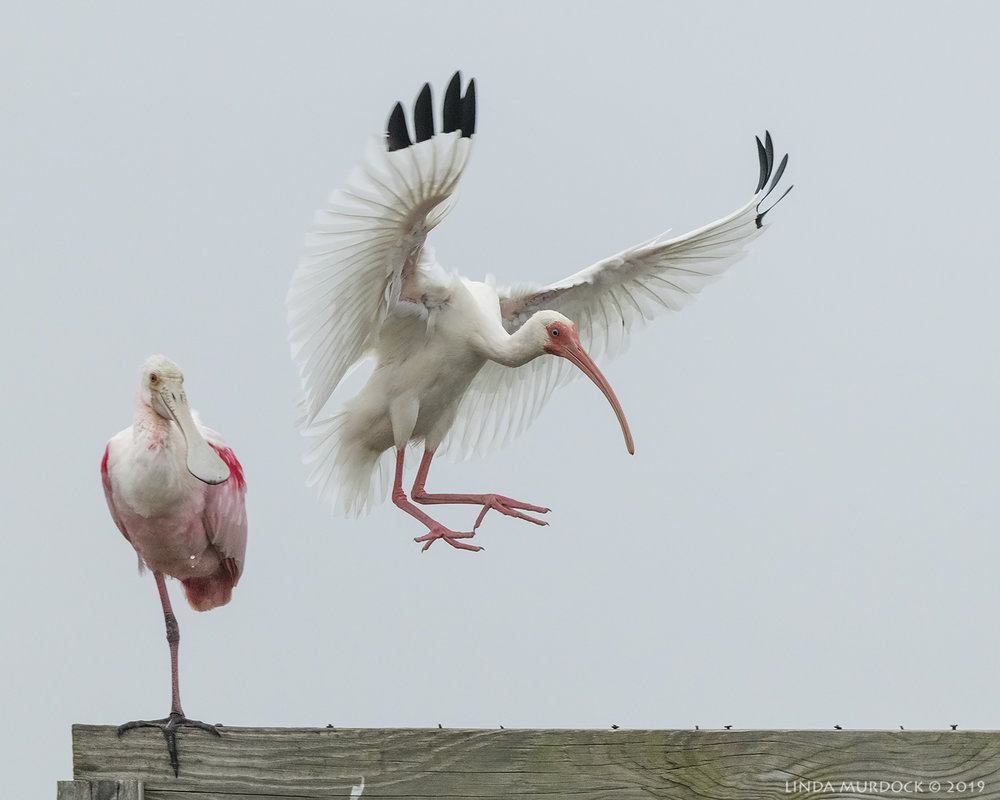 White Ibis joins the party…. Nikon D850 with Nikkor 500 f/5.6 PF VR ~ 1/1250 sec f/6.3 ISO 2500; hand-held