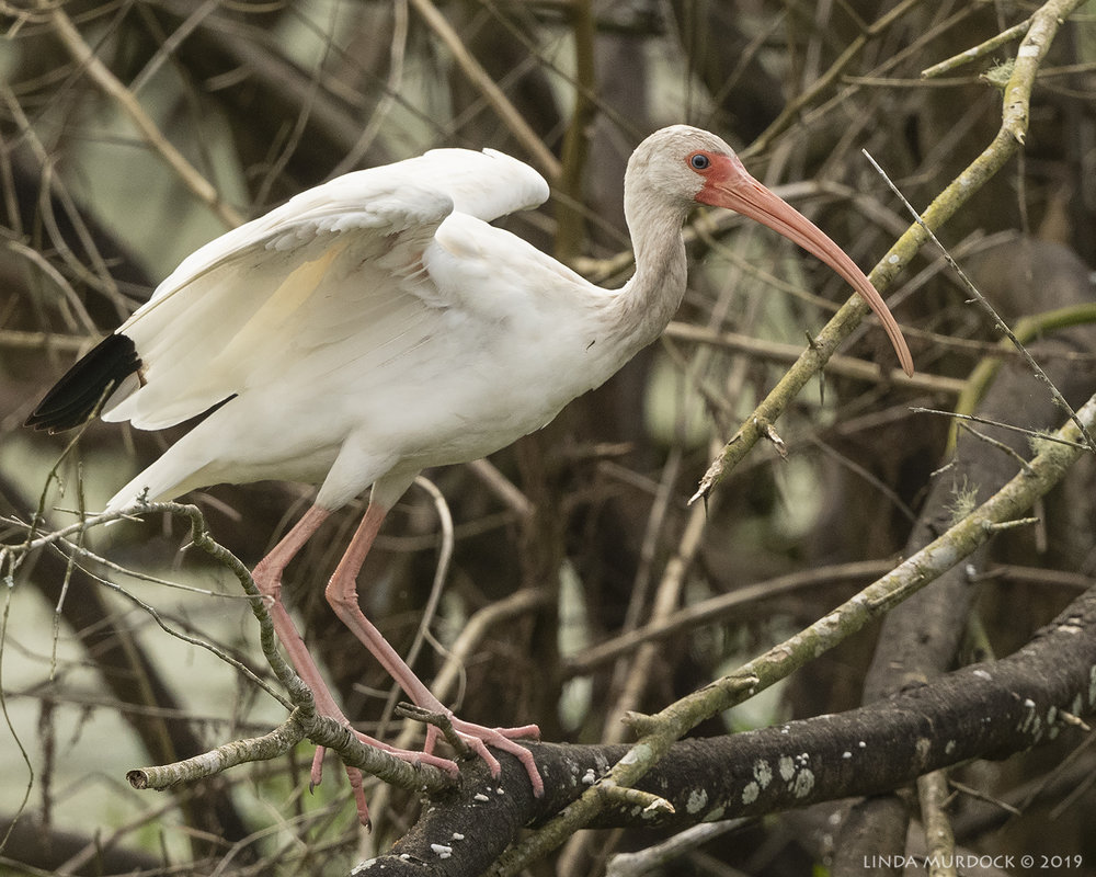 Youngish White Ibis precariously perched…  Nikon D850 with Nikkor 500 f/5.6 PF VR ~ 1/2500 sec f/6.3 ISO 800; hand-held
