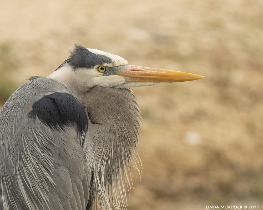 Great Blue Heron looking … GOOD!  Nikon D850 with Nikkor 500 f/5.6 PF VR ~ 1/1600 sec f/6.3 ISO 1250; hand-held