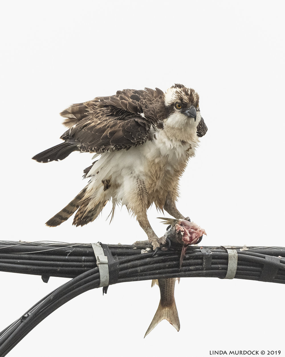 Interrupted Osprey  Nikon D850 with Nikkor 500 f/5.6 PF VR ~ 1/2000 sec f/6.3 ISO 1000; hand-held