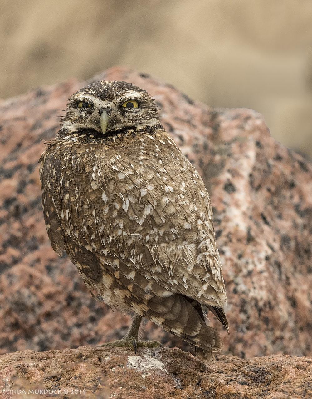 Sandy the Matagorda Burrowing Owl  Nikon D850 with Nikkor 500 f/5.6 PF VR ~ 1/2000 sec f/5.6 ISO 1250; hand-held