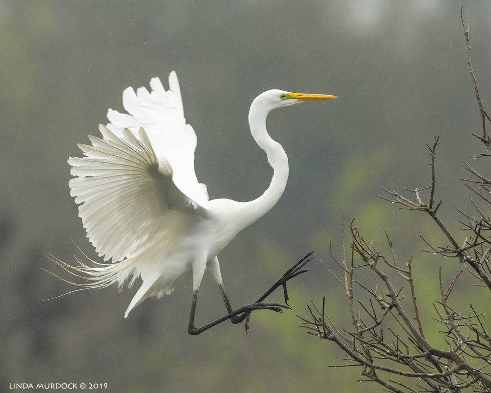 Great Egret coming in for a landing. Nikon D850 with NIKKOR 500mm f/4E VR ~ 1/2000 sec f/6.3 ISO 1600; tripod