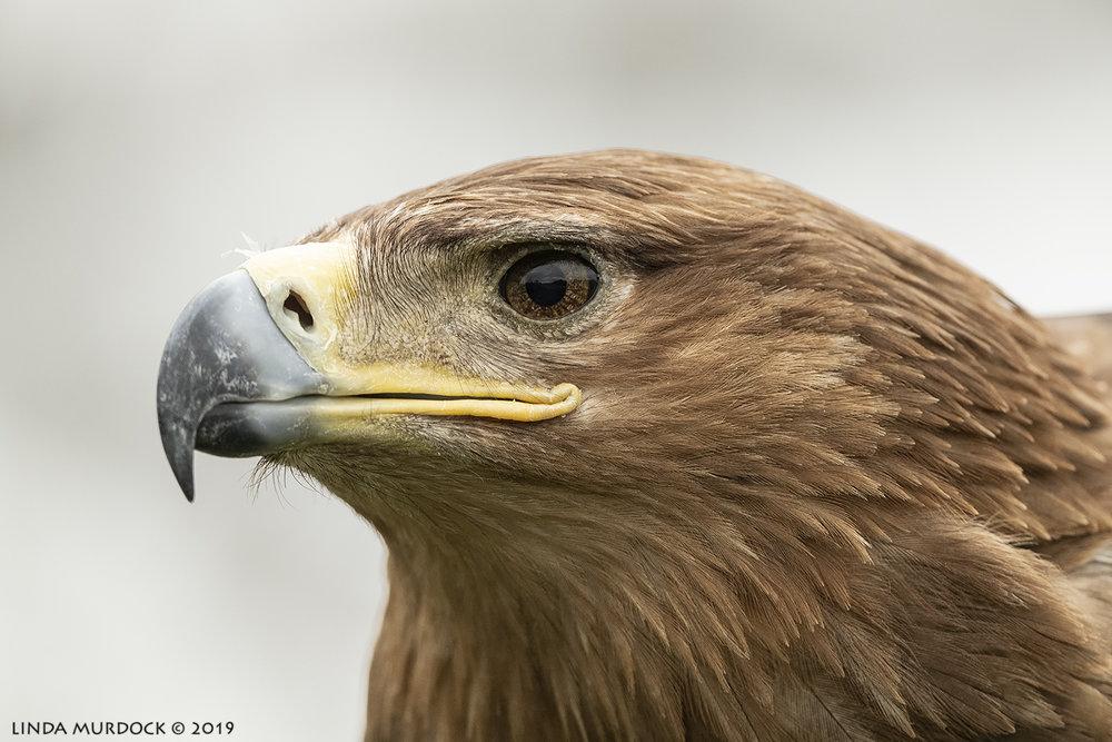 Tawny Eagle portrait Nikon D850 with Nikkor 500 f/5.6 PF VR ~ 1/2500 sec f/7.1 ISO 1600