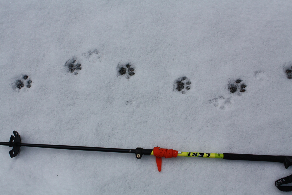 Bobcat tracks on the Cascade River Road