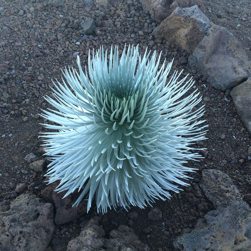 Native plants on Haleakala.