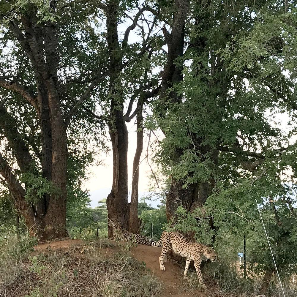 Cheetah at Karongwe