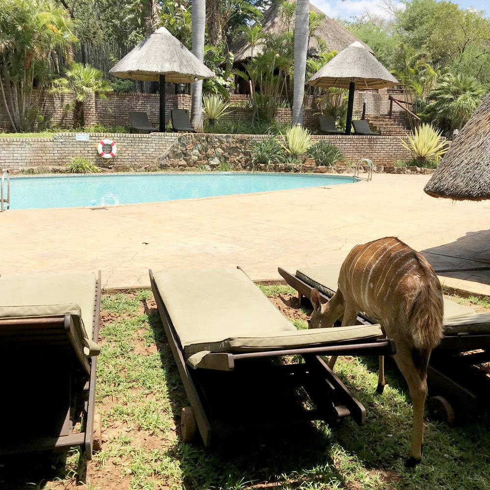 Impala at Karongwe