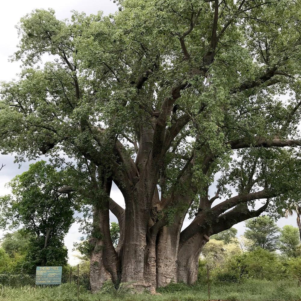 The Big Tree.