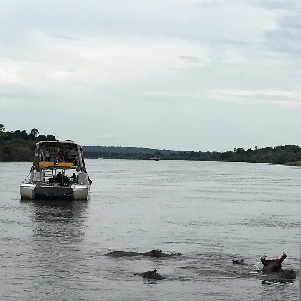Hippos on the Zambezi.