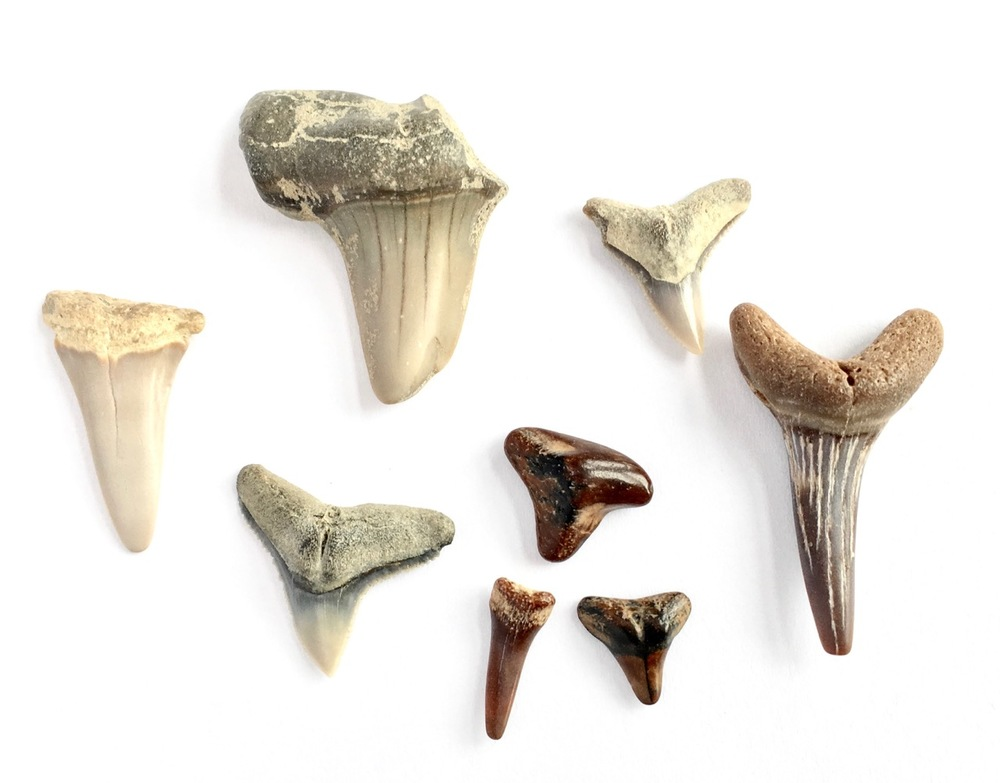 Various shark teeth found on North Carolina beaches