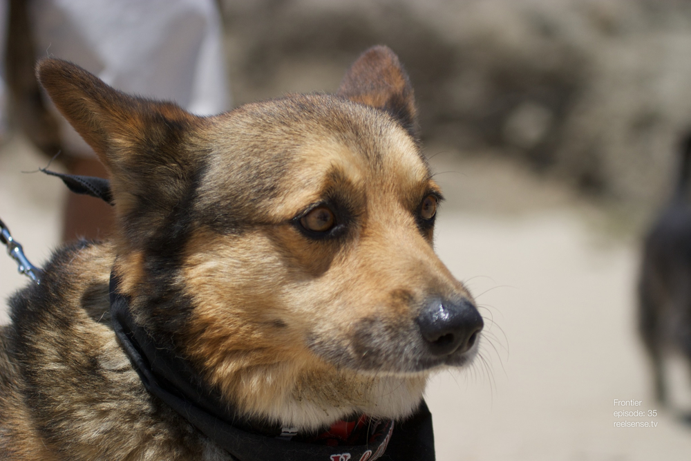 Huntington Dog Beach - Black and brown Corgi