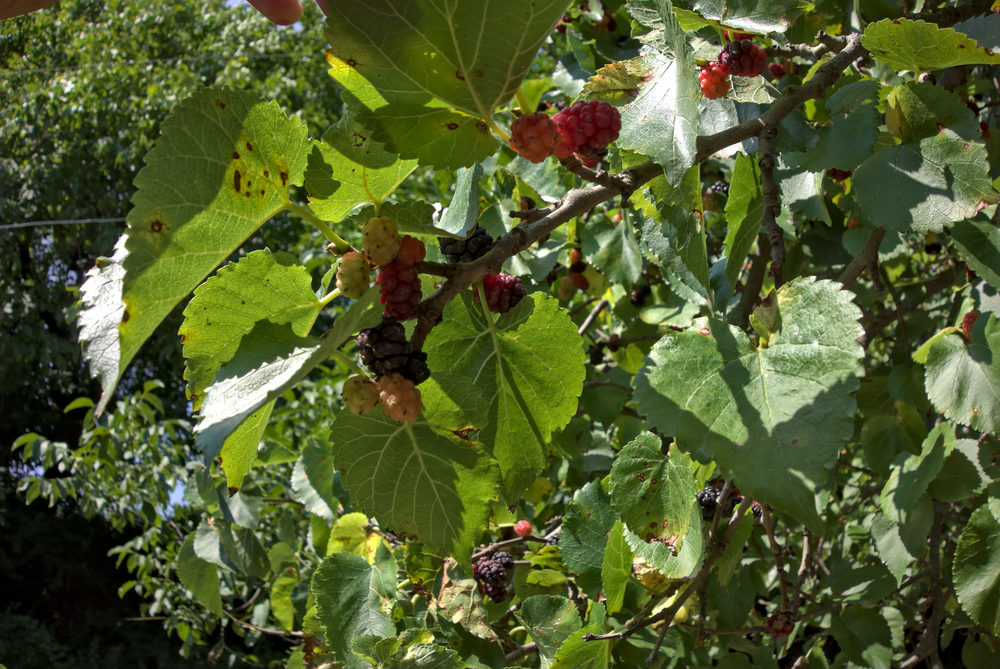 Mulberry fruit and tree. All Images Under Creative Commons License.