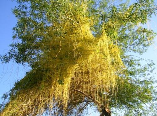 Dodder Tree / Cucustae / Tu Si Zi