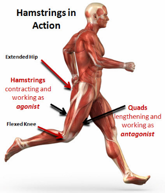 The importance of a fully extendable hip in running