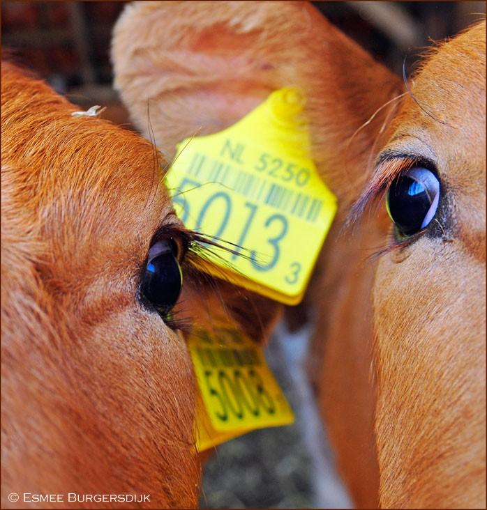 klein koeien_DSC9600.jpg
