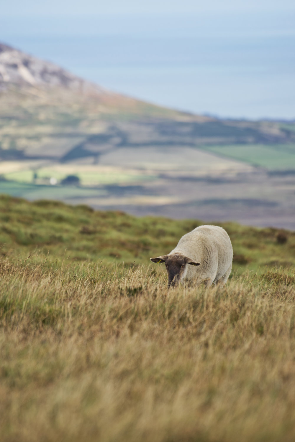 wicklow mountains sheep