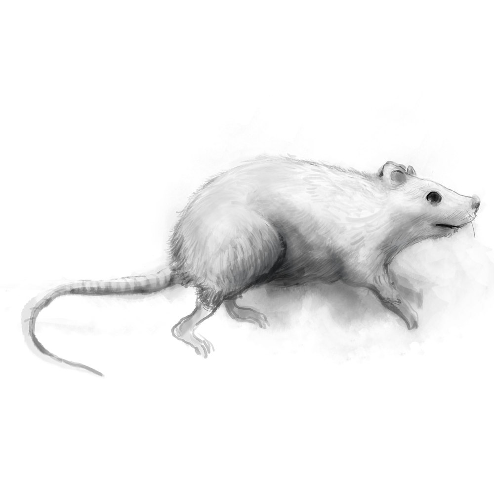 white-rat.jpg