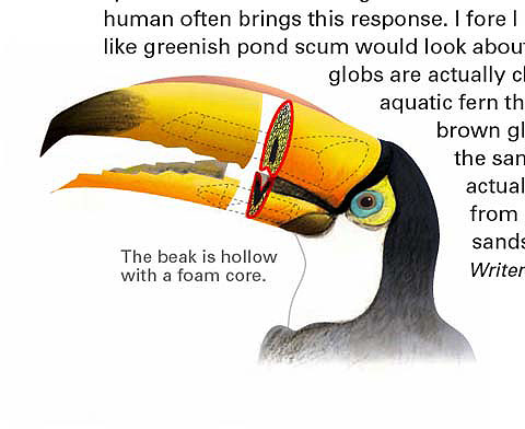 Concept sketch for Toucan beaks, National Geographic Magazine