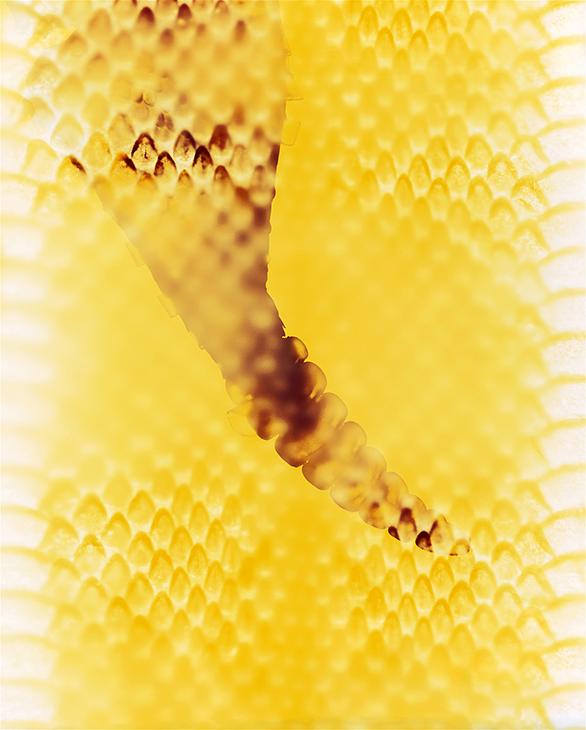 Skin, Rattlesnake