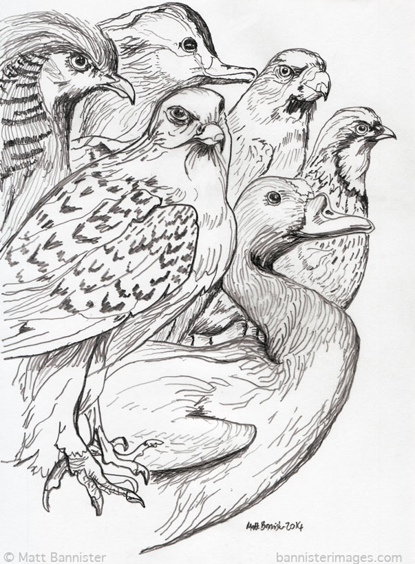 pencil drawing of different birds