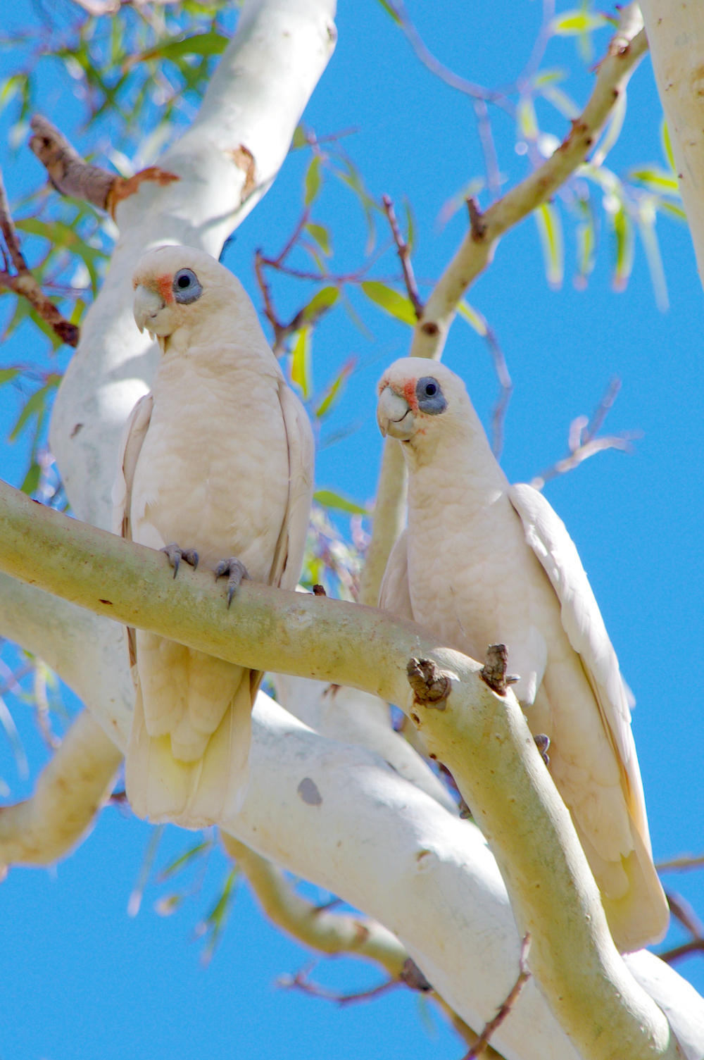 The City of Greater Geraldton will try a new type of deterrent to relocate the masses of corellas.