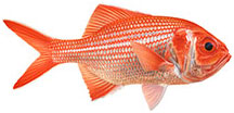 Bight Redfish