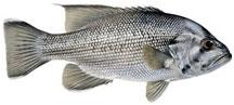 Dhufish