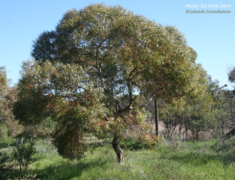Eucalyptus eudesmoides
