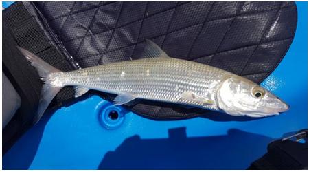 VIBELICIOUS THUMPER TAIL BONE FISH