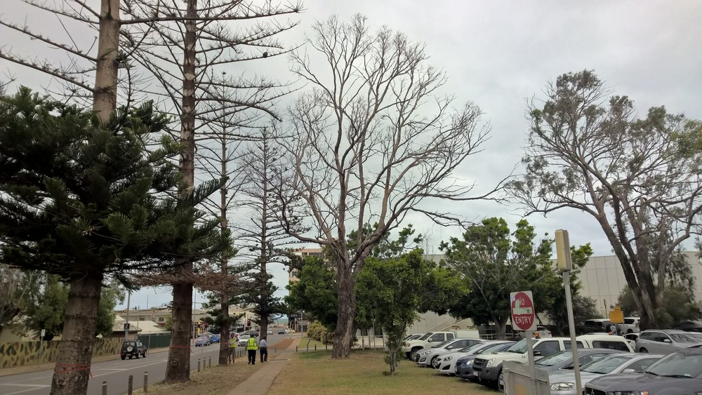 Pic: Trees that have been stripped of their leaves in the CBD