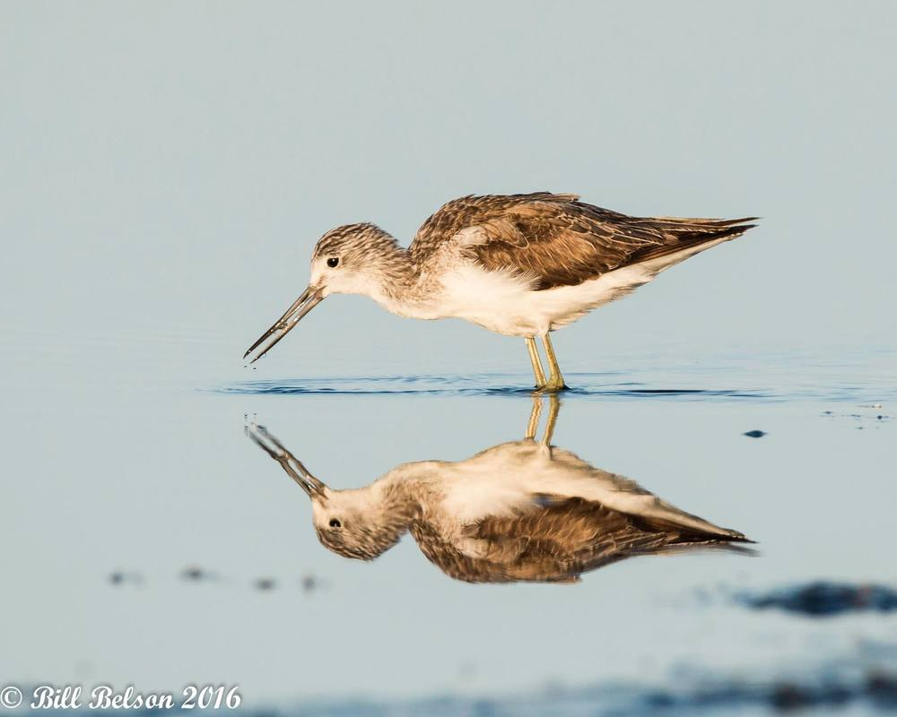 Common Greenshank. Bill Belson‎
