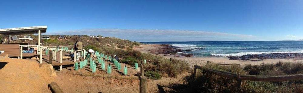 Revegetation of the coastal dunes undertaken by the Kalbarri Boardriders and local volunteers at Jacques Point.