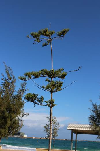 The City will be replacing poor performing Norfolk Pine trees on the Foreshore.