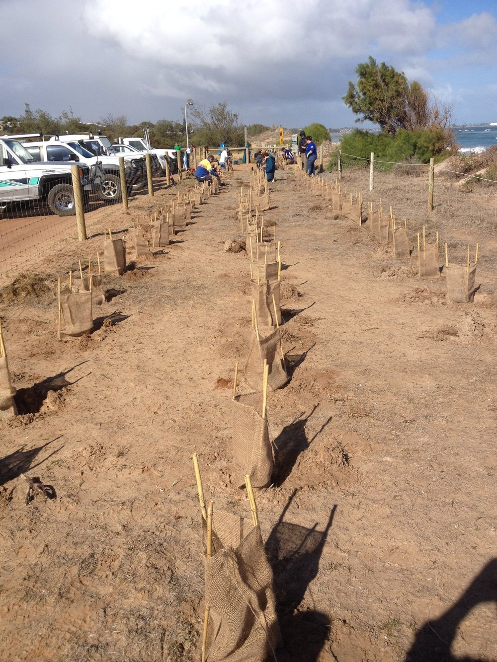 New hessian tree guards, developed by the City in response to community concern regarding using plastic, protect seedlings recently planted by the Sunset Beach Community Group at Triton Place in Sunset Beach.