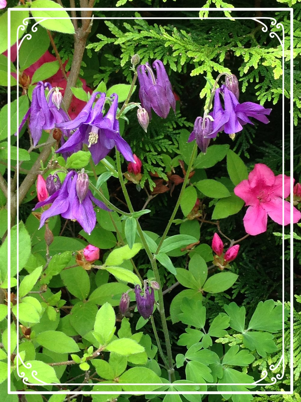 Flowers-Purple Columbine.jpg