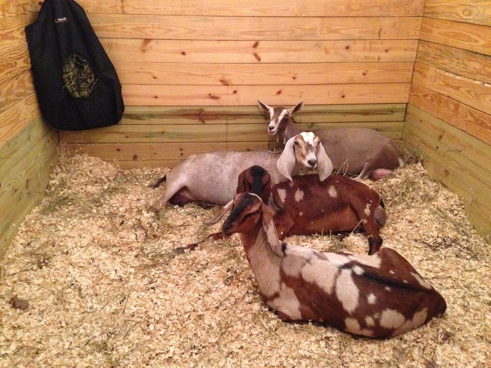The big girls relaxing after kicking Diamond and Strawberry out of the pen