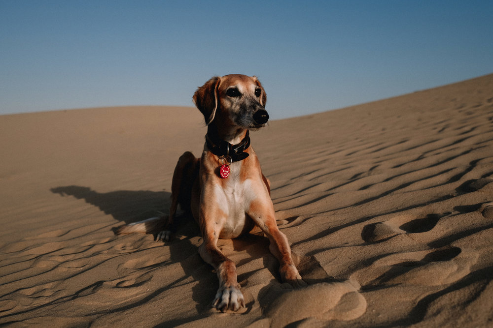 Saluki sitting proudly on a sand dune