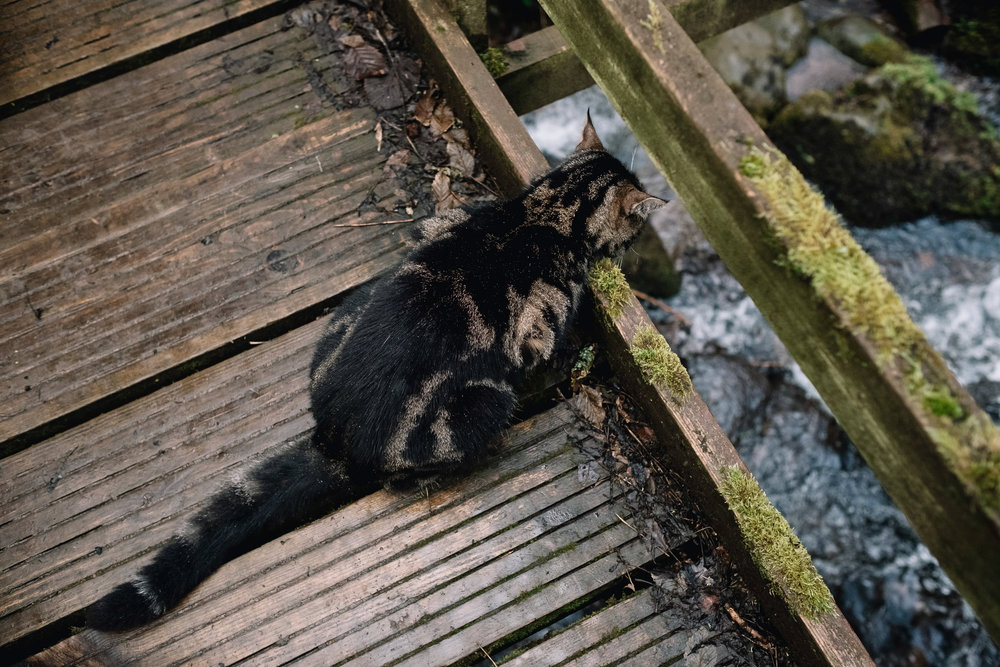 A tabby cat sits on a brige and looks at the water flowing below.