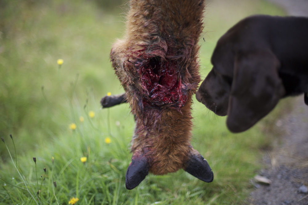 This fox was shot by Mark after an all-night wait. The longest stakeout he has ever done during lambing season was 50 hours; an indicator of the challenges in even seeing a fox, such is their skill at not being detected.