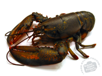 lobster-photo2-m.png