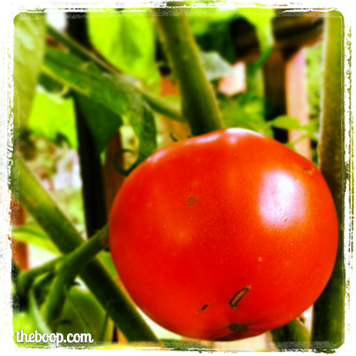 Not so fast, summer! You taste too good. (A tomato from my garden).